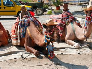 Camel in Aspendos