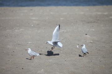 Möwen am Strand von Binz auf Rügen - Seagulls