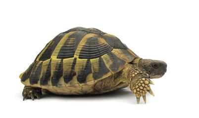 Turtle Testudo hermanni tortoise