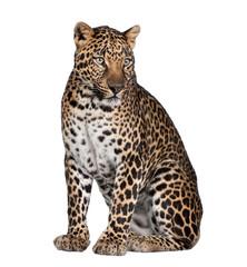 In de dag Luipaard Portrait of leopard, Panthera pardus, sitting, studio shot