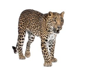 In de dag Luipaard Portrait of leopard, Panthera pardus, standing, studio shot