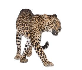 In de dag Luipaard Portrait of leopard, Panthera pardus, walking, studio shot