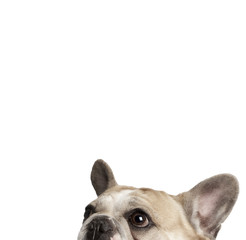 Cropped view of French bulldog, studio shot