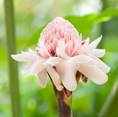 close-up of torch ginger flower