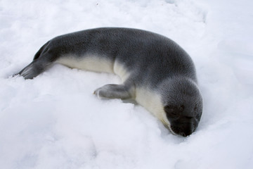 Hooded seal pup