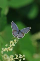 紫のシジミチョウ