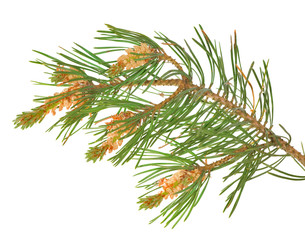 isolated green pine branch