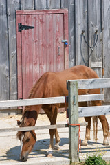 Lone horse eating in front of red barn door