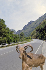 Rock goat crossing a highway across mountain, Salerno, Italy