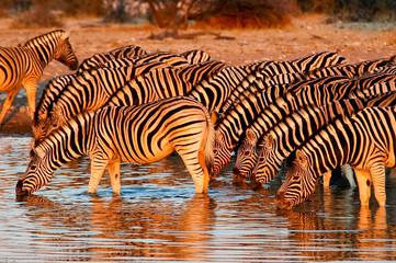 Zebras am Wasserloch im Etosha Nationalpark, Namibia
