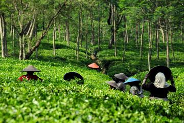 Fotobehang Indonesië Tee Plantage - tea plantation