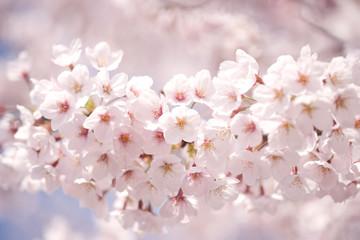 サクラの花(ソメイヨシノ)