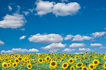 Bright field of sunflowers and the blue sky