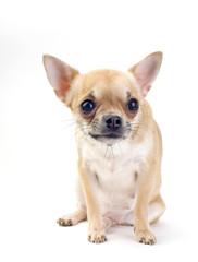 cute Chihuahua sitting