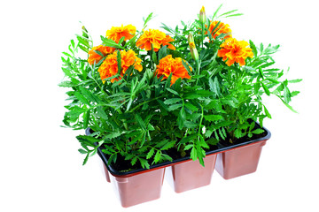 Tuinposter Lavendel bright orange marigolds in plastic pots