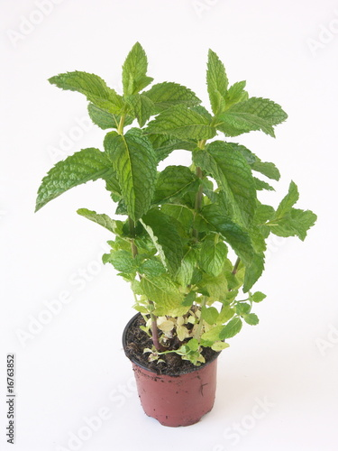 un plant de menthe en pot sur fond blanc photo libre de droits sur la banque d 39 images fotolia. Black Bedroom Furniture Sets. Home Design Ideas