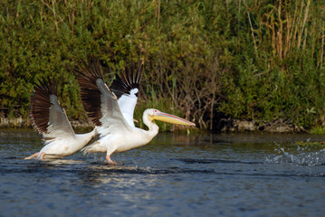 Pelicans flaying