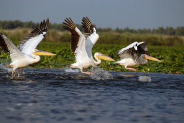 Flaying pelicans