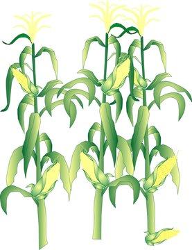 Corn on the stalks illustration