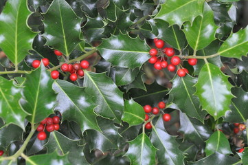 Ilex, Stechpalme, Weihnachtsschmuck