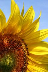 tournesol pétale oléagineux pistil pollen