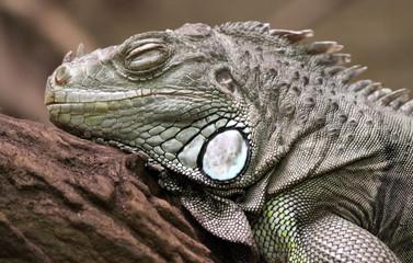 Grüner Leguan - Porträt