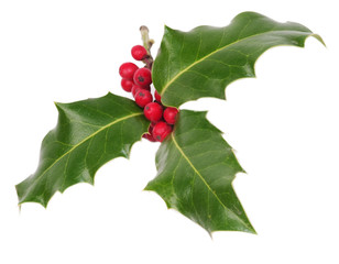 Holly tree isolated on white background