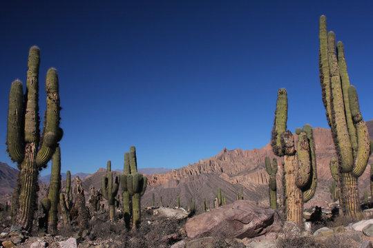 Forêt de Cactus