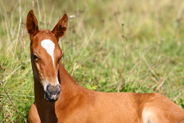 Wall Mural - chestnut filly on field