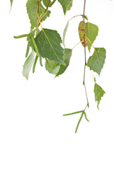 branch of a birch is isolated on a white background