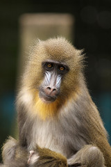 Poster Parrot Mandrill looking at you