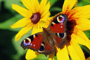 Butterfly, flying from flower