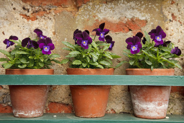 Wall Murals Pansies pansy flowers in three old terracotta pots