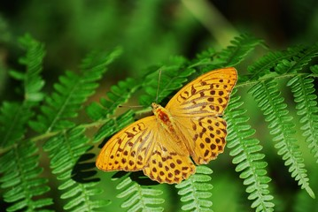 Argynnis paphia, Silver-washed Fritillary