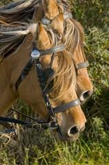 Transhenson 2008 - Rassemblement du troupeau de chevaux Henson e
