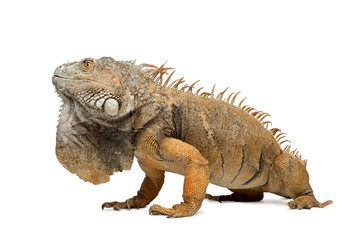 Side view of Green Iguana,  in front of white background,