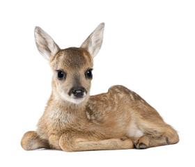 Fototapete - Portrait of Roe Deer Fawn, sitting against white background