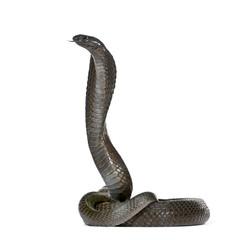 Egyptian cobra, against white background, studio shot