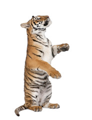Bengal Tiger, 1 year old, sitting in front of white background