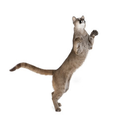 Poster Puma Puma cub, standing on hind legs against white background