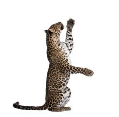 In de dag Luipaard Leopard reaching up against white background, studio shot