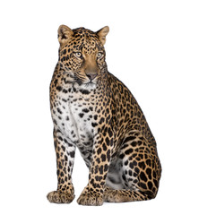 Poster Leopard Portrait of leopard sitting against white background