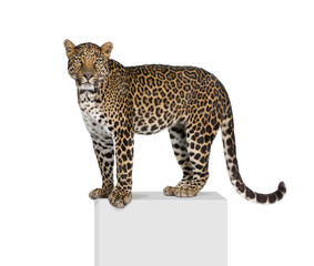 Poster Leopard Portrait of leopard on pedestal against white background