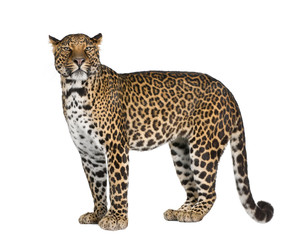 Keuken foto achterwand Luipaard Portrait of leopard standing against white background