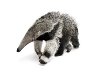 Fototapete - Young Giant Anteater, walking in front of white background