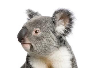 Garden Poster Koala Portrait of male Koala bear, Phascolarctos cinereus, 3 years old