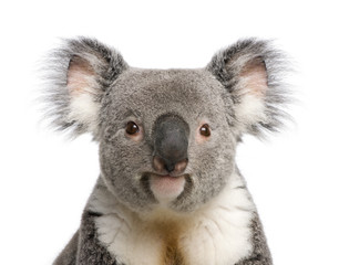 Wall Murals Koala Portrait of male Koala bear, Phascolarctos cinereus, 3 years old