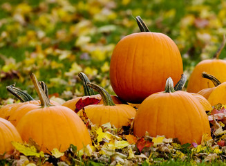 Pumpkins in a field of leaves