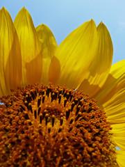 Sonnenblumenpracht