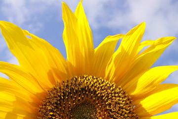 sonnenblume ,hintergrund